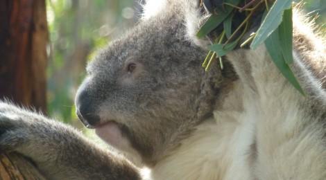 Phillip Islands- Koalas und die Pinguine Parade